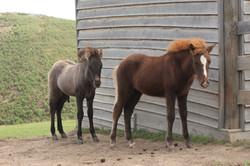 Blikfaxa as a foal at Camlee