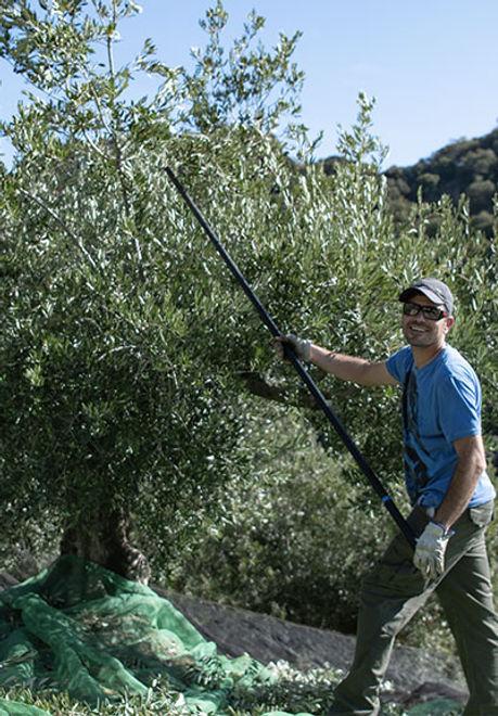 Einheimische-Olivensorten-Oro-del-Camell