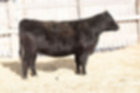 commercial Angus.jpg
