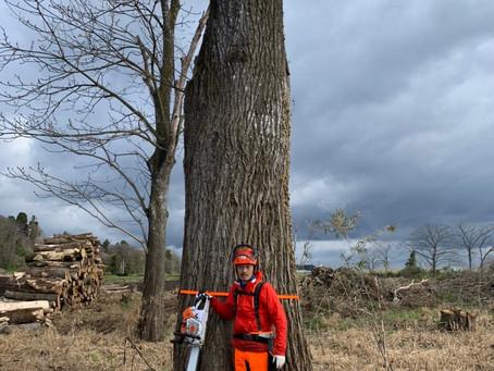 クルミの大径木の伐採作業(動画付)
