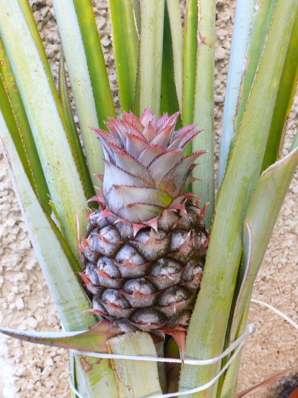 Pineapples provide bromelain, a most effective digestive enzyme