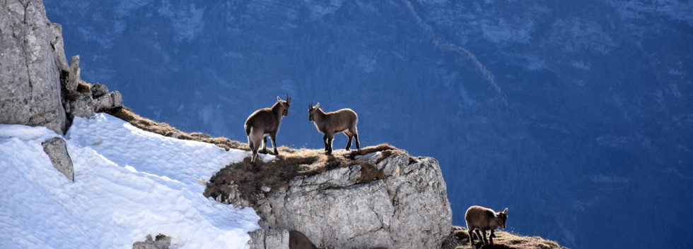 Hinds in the Rocky Mountains.jpg