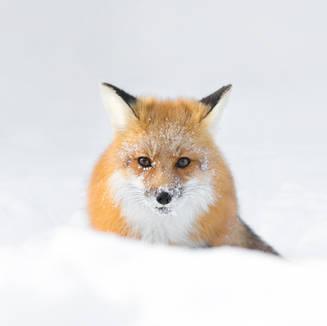 Un renard l'hiver