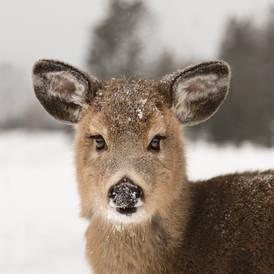 Portrait d'un jeune cerf
