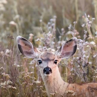 Grandes oreilles