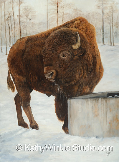 """""""A Refreshing Pause"""" Bison Bull Giclée"""
