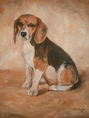 Jack - Beagle