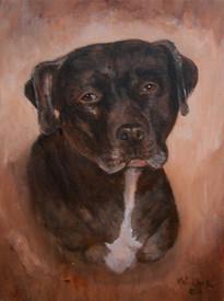 Callie - Pit Bull