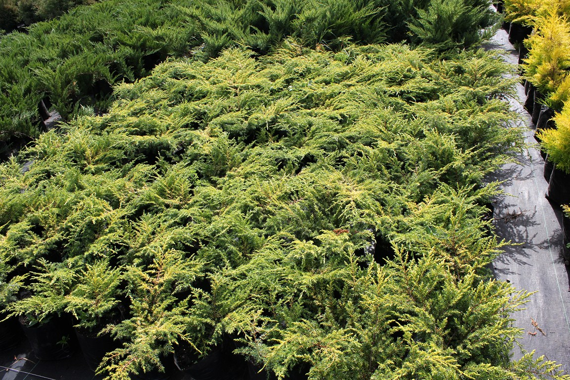 Juniperus, juniperos