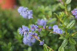 Ceanothus rastrero y arbustivo