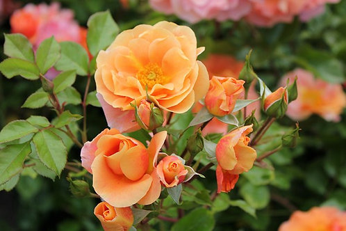 Rosa Floribunda Together Forever