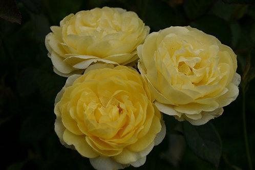 Rosa Floribunda Comtesse du Barry