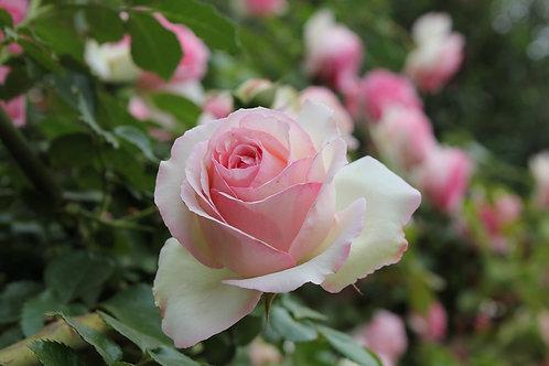 Rosa Trepadora Pierre de Ronsard