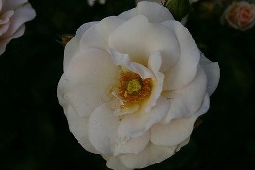 Rosa Floribunda Snow Storm
