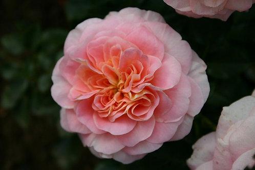 Rosa Floribunda Concerto
