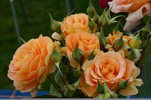 Rosa Floribunda Honey Perfume