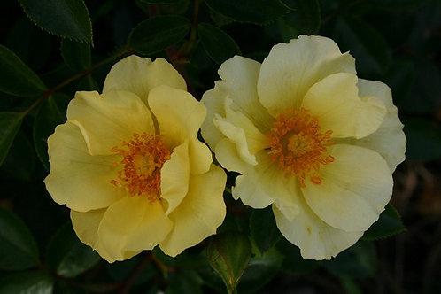 Rosa Floribunda La Bamba