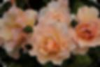 rosa floribunda iceberg
