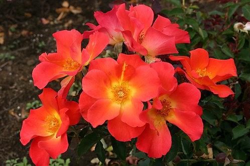 Rosa Floribunda Tramonto