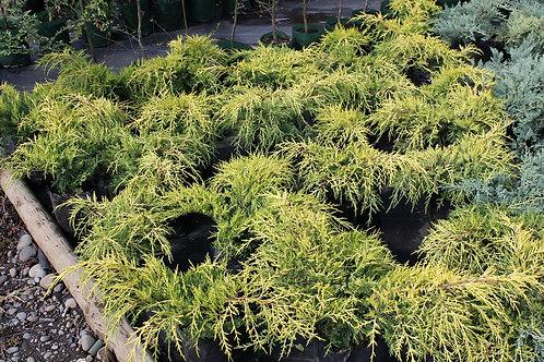 "Juniperus X media ""Pfitzeriana Aurea"""