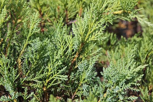 """Juniperus Sabina """"Blue Danube"""""""