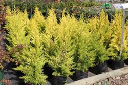 Ciprés macrocarpa Aurea