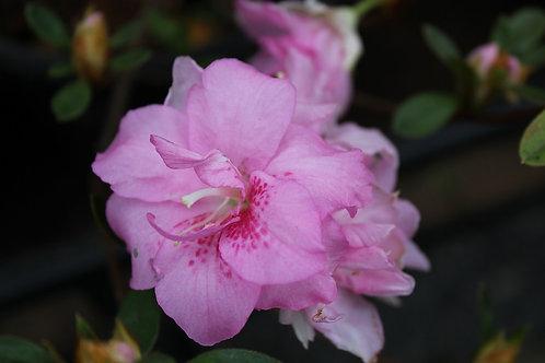 Azalea Rosada mediana