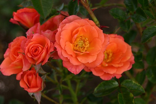 Rosa Floribunda Old John