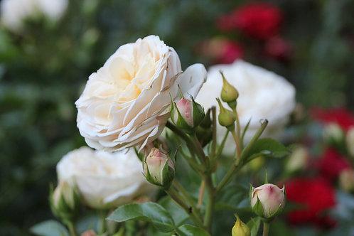 Rosa Floribunda White Da Vinci