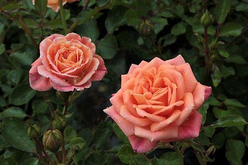 Rosa Floribunda Friends