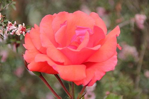 Rosa Trepadora Blaze of Glory