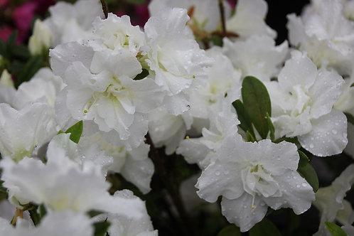 Azalea Blanca doble