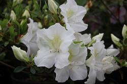 Azalea blanca simple Botti