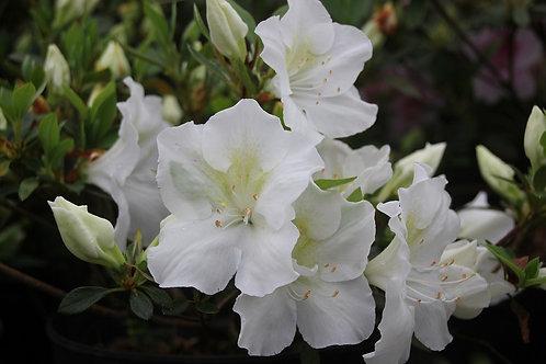 Azalea blanca simple