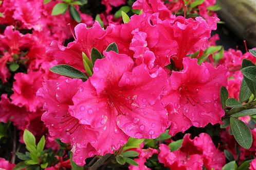 Azalea Fucsia flor grande