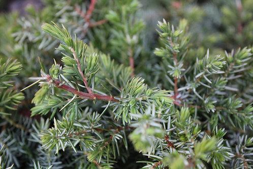 """Juniperus horizontalis """"Wiltonii"""""""