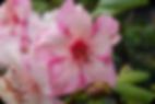 Rododendros, azaleas, arbustos, nandinas, ceanothus