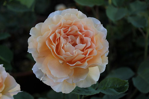 Rosa Trepadora Polka