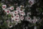 Leptospermo, leptospermos, plantas de leptospermo