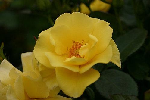 Rosa Floribunda Bright Smile