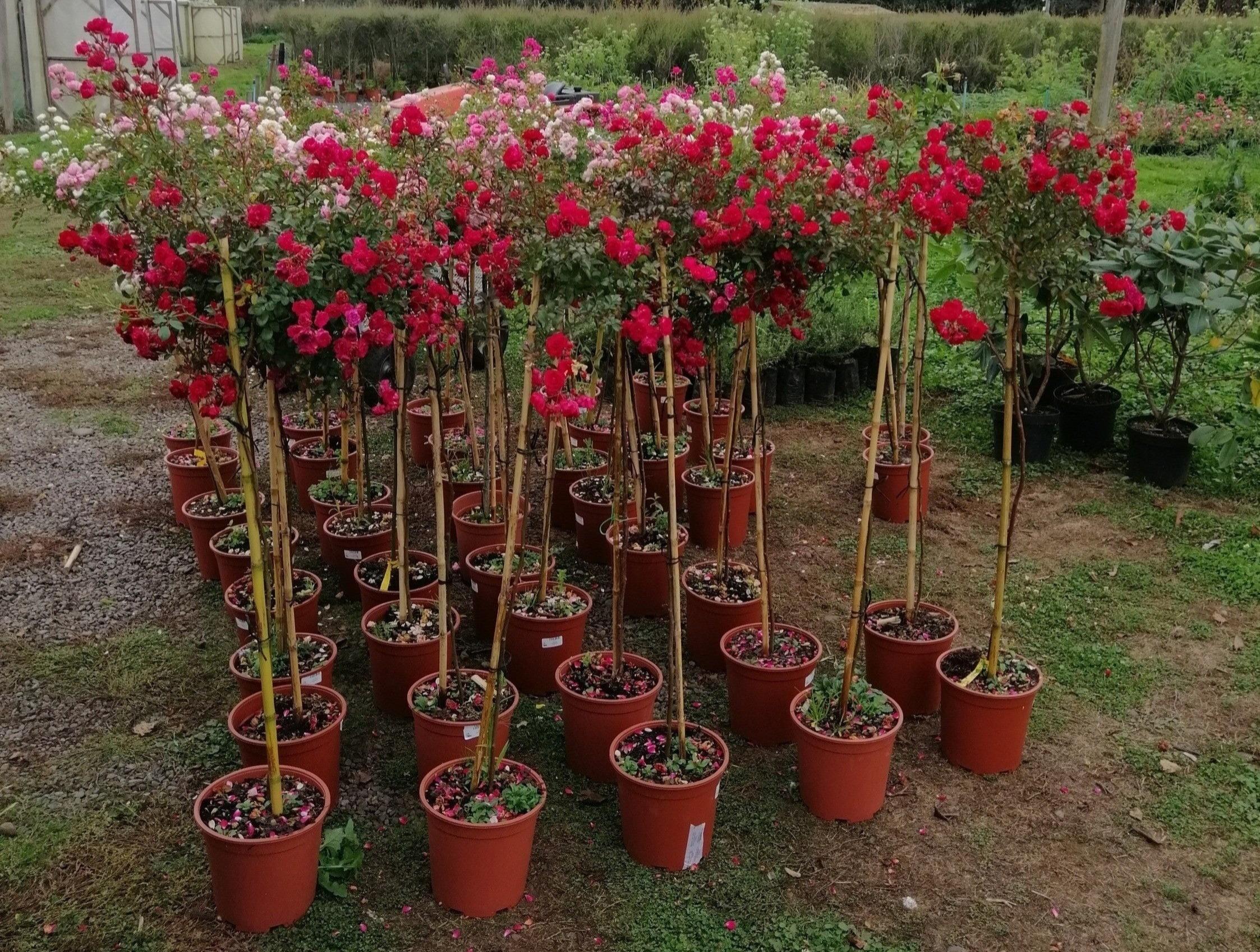 Rosas de Pie Alto