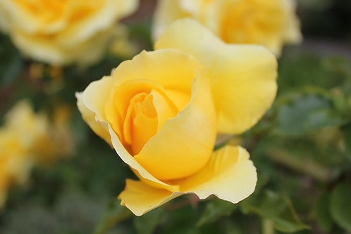Rosa Trepadora Rimosa