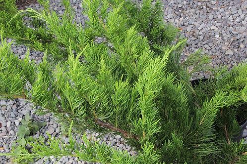 "Juniperus X media ""Pfitzeriana"""