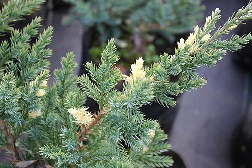 """Juniperus davurica """"Expansa Aureospicata"""""""