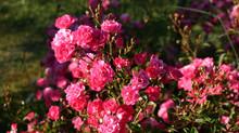 Rosas para paisajismo urbano