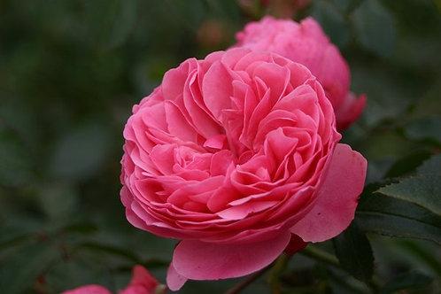 Rosa Floribunda Leonardo da Vinci