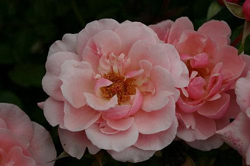 Rosa Floribunda Valentine Heart