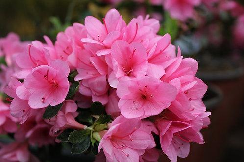 Azalea Rosada flor chica