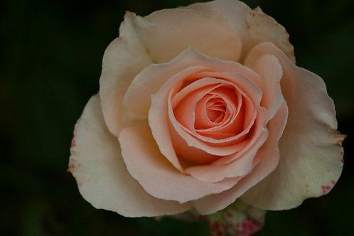 Rosa Floribunda Pink Dominica