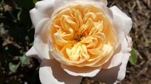 Nuevas variedades de rosas en el horizonte